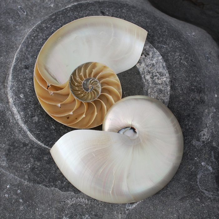 Cut Nautilus Shell Polished | Polished Shells | Sea shells | Mother of Pearl Shells