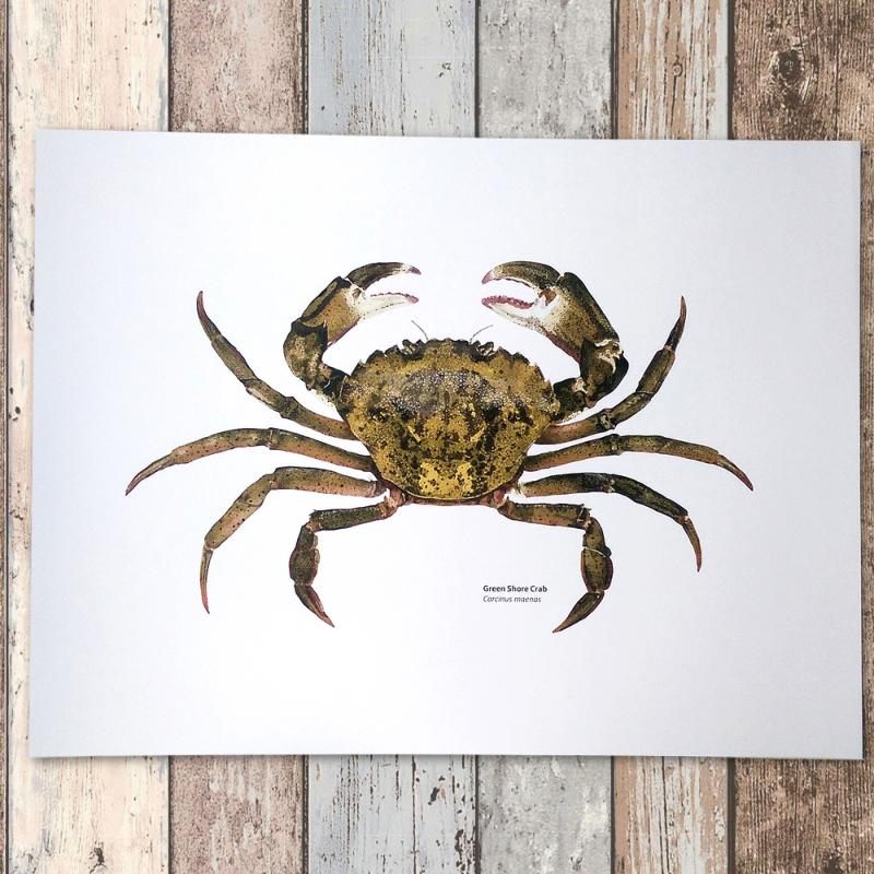 Green Shore Crab Print